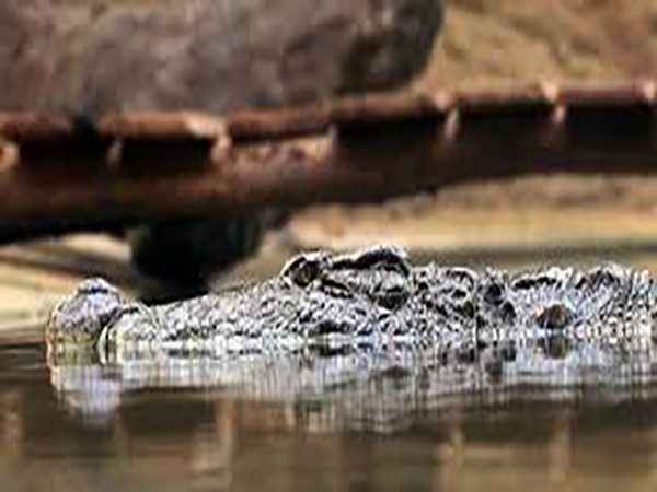 Massive crocodile spotted in Ohio creek while children were playing in water