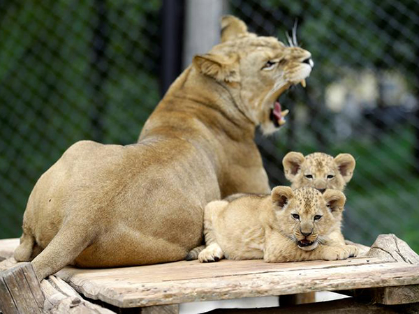 Hilarious video shows lion cub spooking her mom