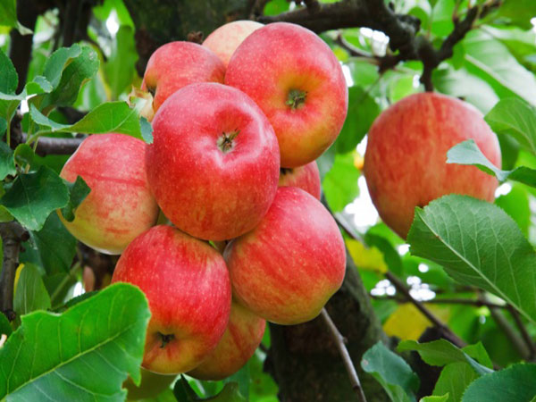 New 'Cosmic Crisp' apple to hit produce shelves soon