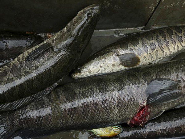 Snakehead fish discovered in Georgia, sparks warning from wildlife officials: 'Kill it immediately'