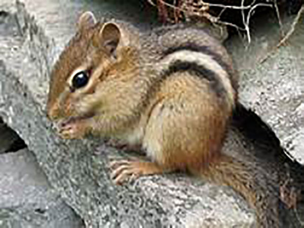 Chipmunks, fattened up on acorns, are driving people nuts