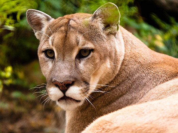 Secret life of cougars captured by Sooke man's wildlife cameras