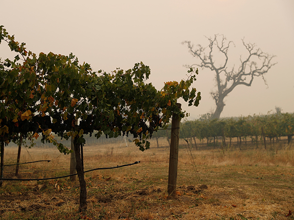 California wineries unlikely to sell smoky wines post-wildfires, expert says