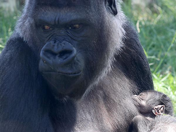 Endangered baby gorilla, born 6 days ago at Audubon Zoo in New Orleans, has died