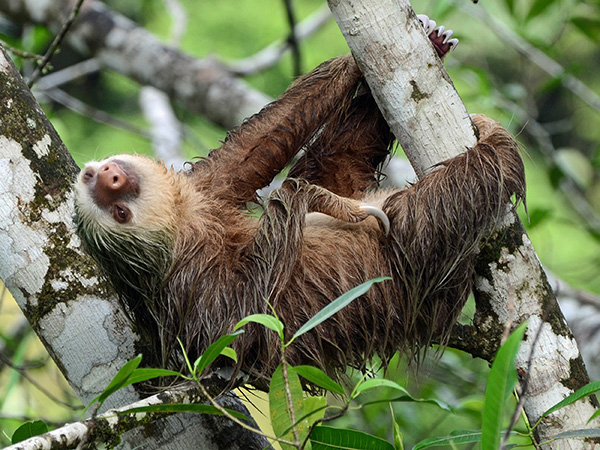 Nocturnal sloths are adapting to habitat destruction by coming out in the day instead
