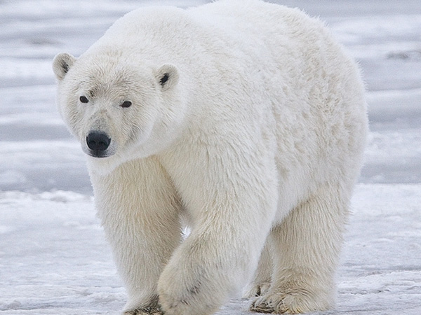 Climate change: Polar bears could be all but extinct by 2100, study warns