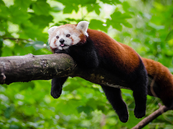 Columbus Zoo: Red panda 'with a long, fluffy striped tail' has vanished
