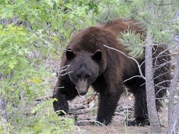 Spring bear hunt proposal pits hunters against wildlife conservationists