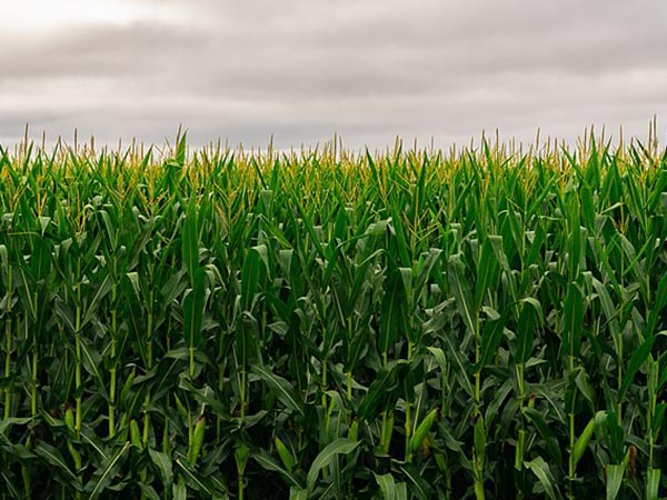 CBOT agricultural futures rally amid worsening climate conditions