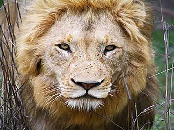 Lion also dies two days after lioness' death