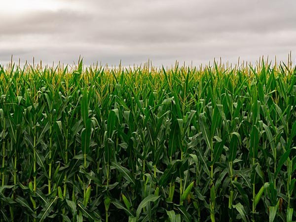 Roundup: CBOT agricultural futures in upward trend