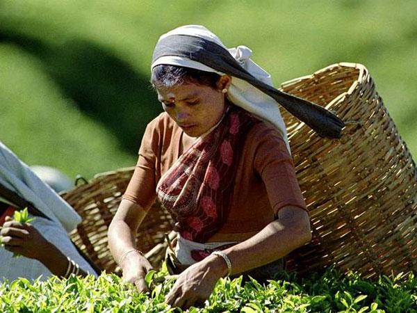 Sri Lanka tea production, exports decline in January 2020