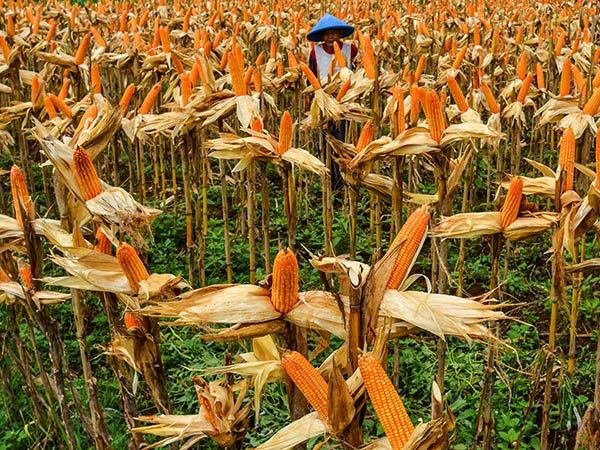 China corn imports soar in August