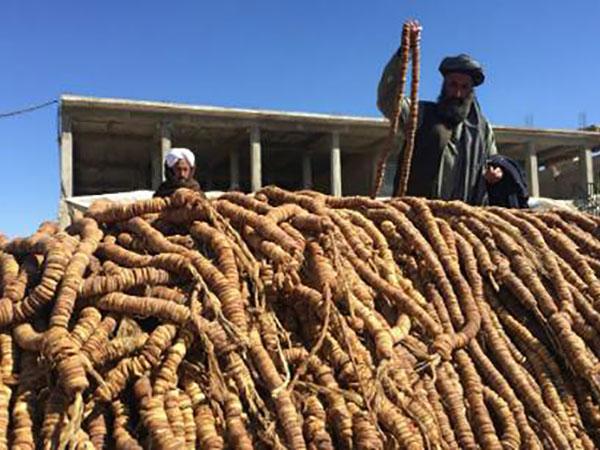 Kandahar Fig Yield Up 25%