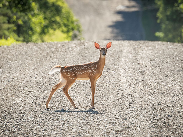 Device to prevent deer-vehicle collisions tested