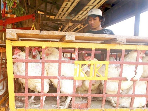 More poultry breeders adopt modern methods