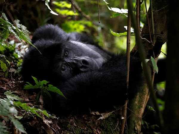 Rwanda names endangered mountain gorillas in first virtual naming ceremony