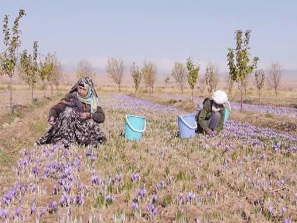 Herat's Farmers Expect 18 Tons of Saffron This Year: Officials