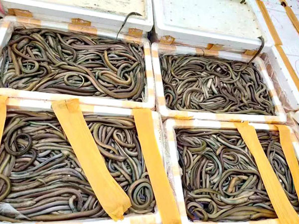 Eels stranded between Kutkai and Muse written off by traders