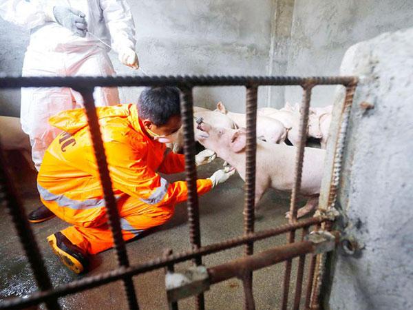 'Halt pig, pork imports to prevent swine fever'