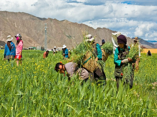 Tibet aims 20 pct growth of labor income for farmers, herders