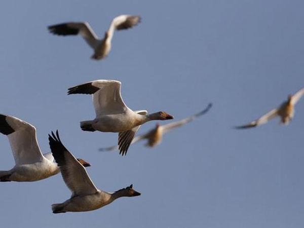U.S. wildlife habitat sees earlier snow goose migration amid weather changes