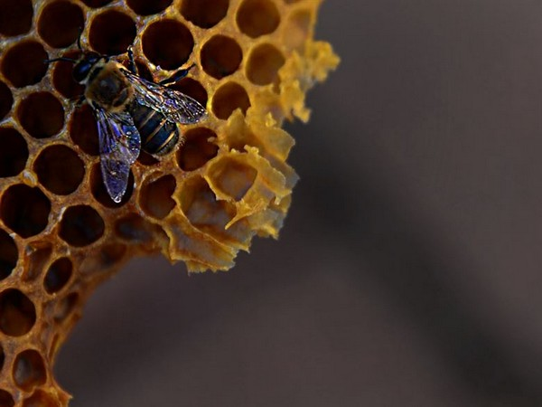 Increasing bee colonies can raise agricultural, horticultural productivity: BDC report