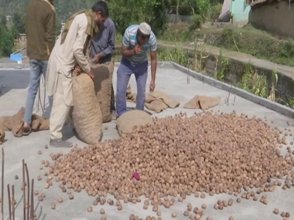 Changing agriculture trend in J-K's Rajouri: Farmers engage in walnut farming on large-scale