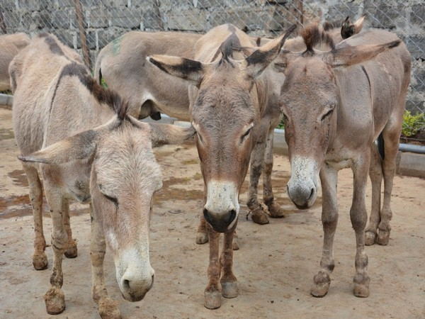 It's donkey all the way in Pakistan
