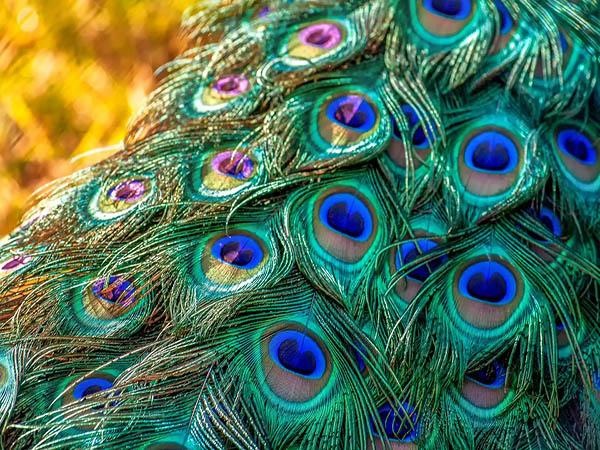 100-kg of peacock feathers headed to Dubai seized
