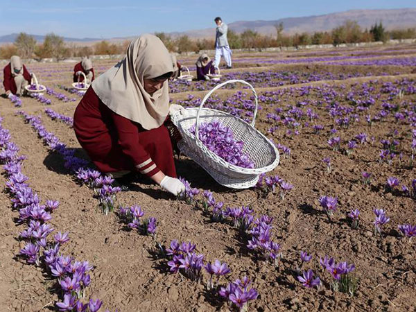 Saffron Fields Cover 70 Hectares Of Land In Balkh