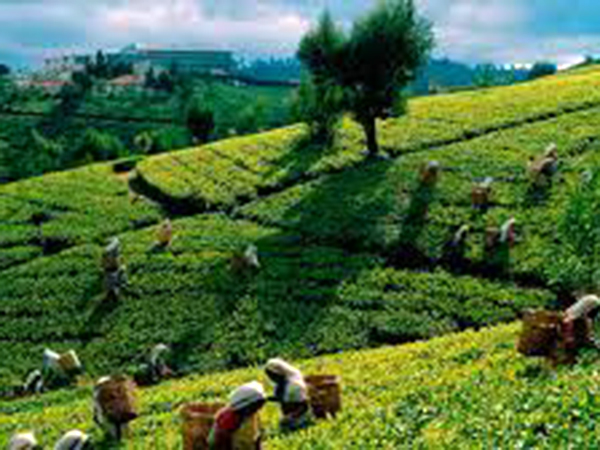 Sri Lanka's tea output seen recovering to 300mn kg in 2018