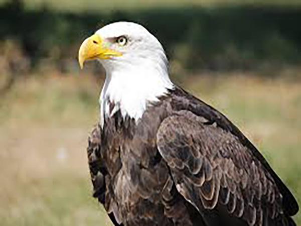 Authorities launch probe into who gunned down bald eagle in Arkansas