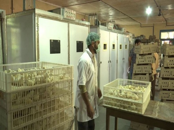 Hatcheries play vital role in boosting poultry production in Kashmir