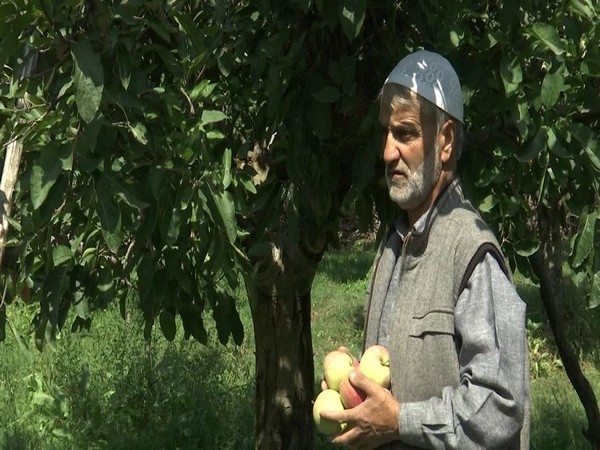 Growers busy with harvesting of apples in Kashmir