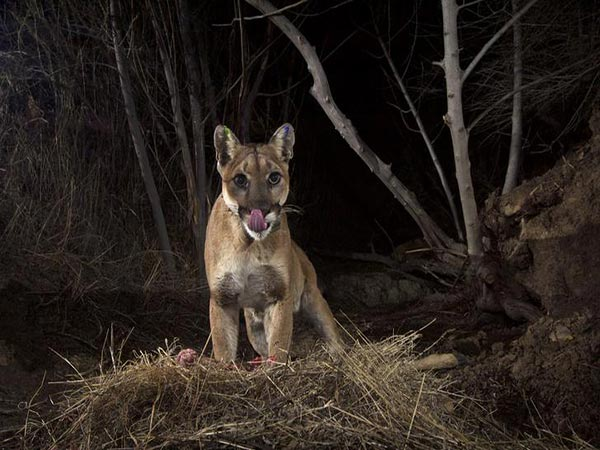 Montana hunters who illegally killed Yellowstone mountain lion left trail of photos on social media