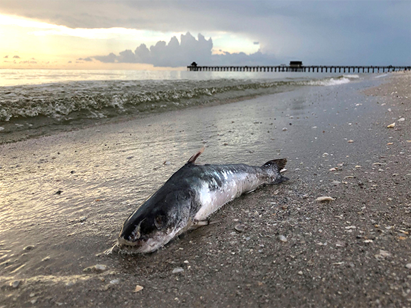It will take more than a hurricane to shake Florida's red tide