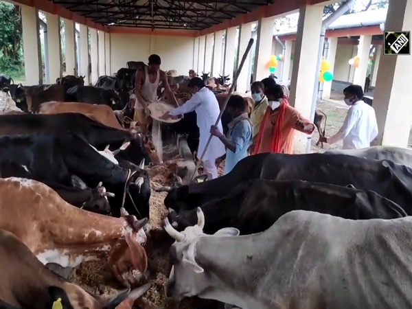 BJP MLA in Moradabad feeds over 170 cows on Krishna Janmashtami