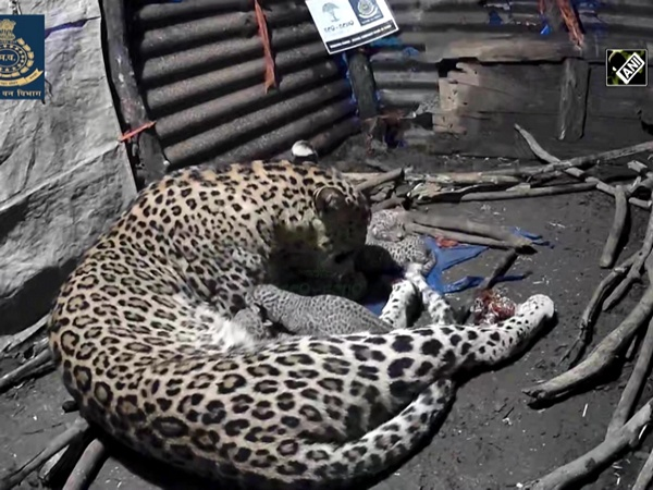 Watch: Leapord gives birth to four cubs in Nashik