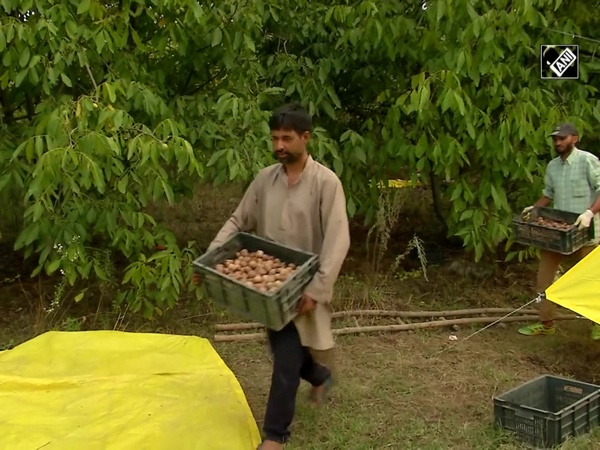 Farmers rejoice over bumper walnut harvest in J&K's Kralpora