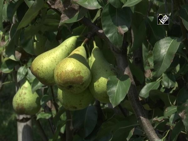 Sher-e-Kashmir University introduces high-density pears