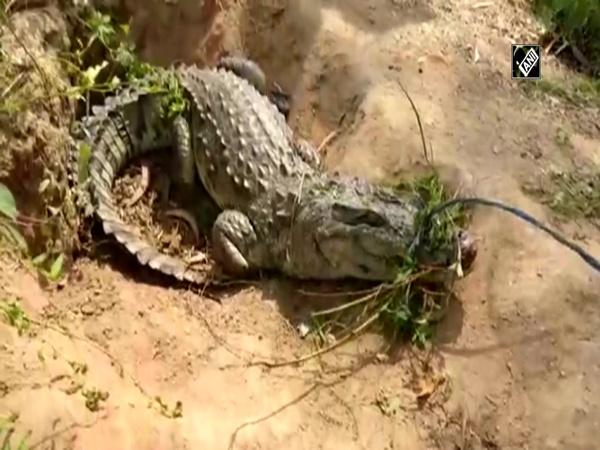 Watch: Forest dept rescues crocodile in Gujarat's Vadodara