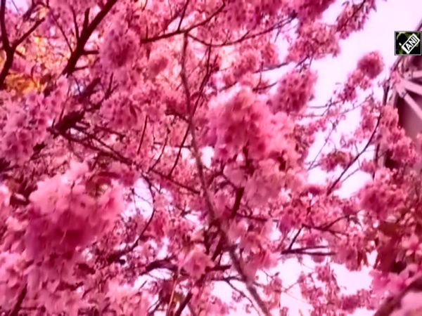 Cherry blossom flowers bloom in Shillong