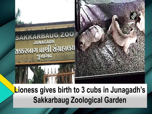 Lioness gives birth to 3 cubs in Junagadh's Sakkarbaug Zoological Garden