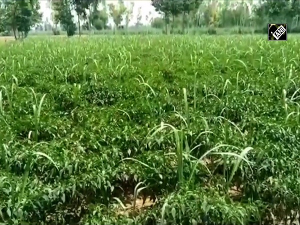 Moradabad farmer plants chillies, sugarcane in same field to double his income
