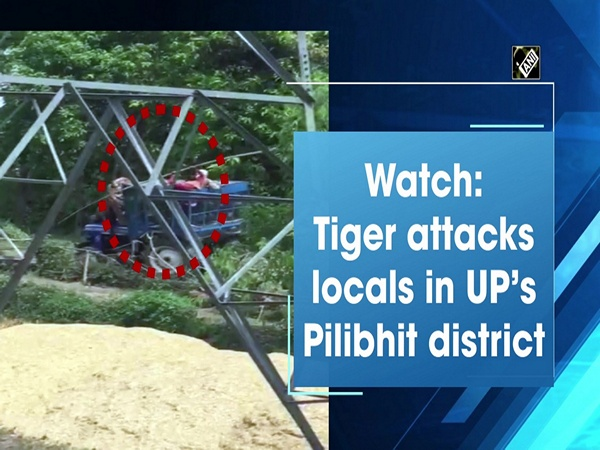 Watch: Tiger attacks locals in UP's Pilibhit district